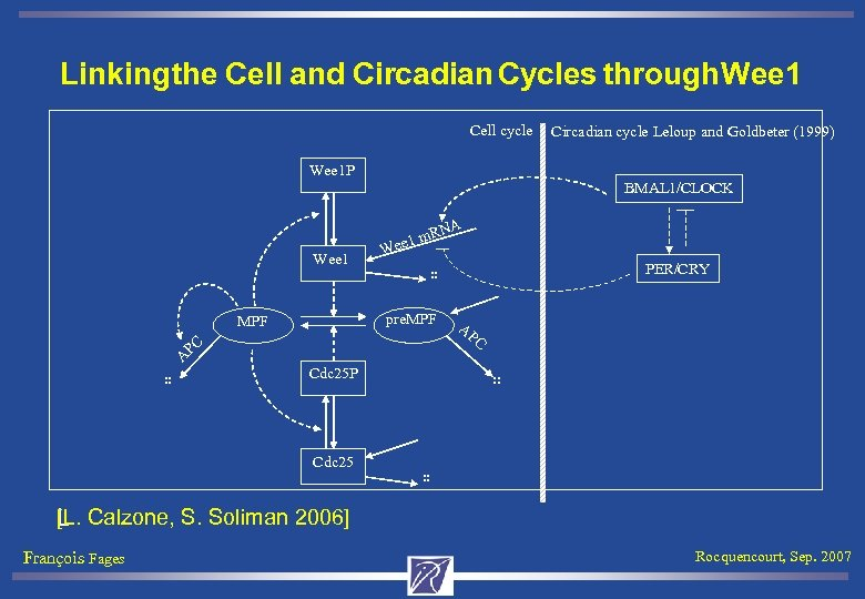 Linking the Cell and Circadian Cycles through Wee 1 Cell cycle Circadian cycle Leloup