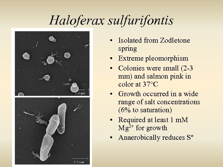 Haloferax sulfurifontis • Isolated from Zodletone spring • Extreme pleomorphism • Colonies were small