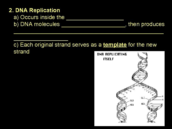 2. DNA Replication a) Occurs inside the _________ b) DNA molecules __________, then produces