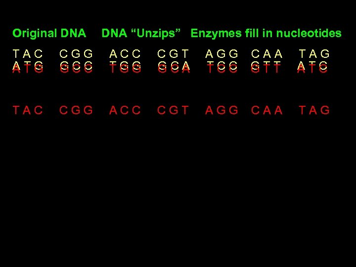"""Original DNA """"Unzips"""" Enzymes fill in nucleotides TAC ATG CGG GCC ACC TGG CGT"""