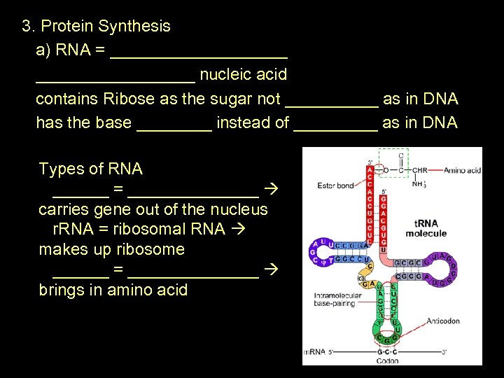 3. Protein Synthesis a) RNA = __________ nucleic acid contains Ribose as the sugar