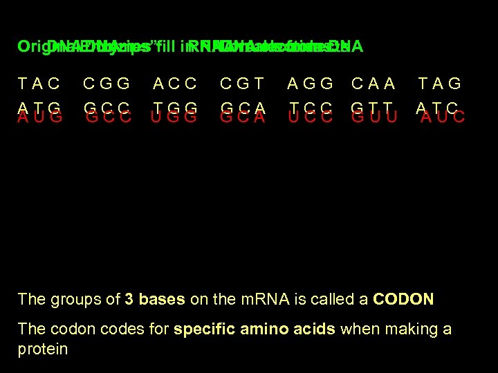 """Original. Enzymes fill in RNA nucleotides DNA """"Unzips"""" RNADNA reconnects breaks from DNA TAC"""