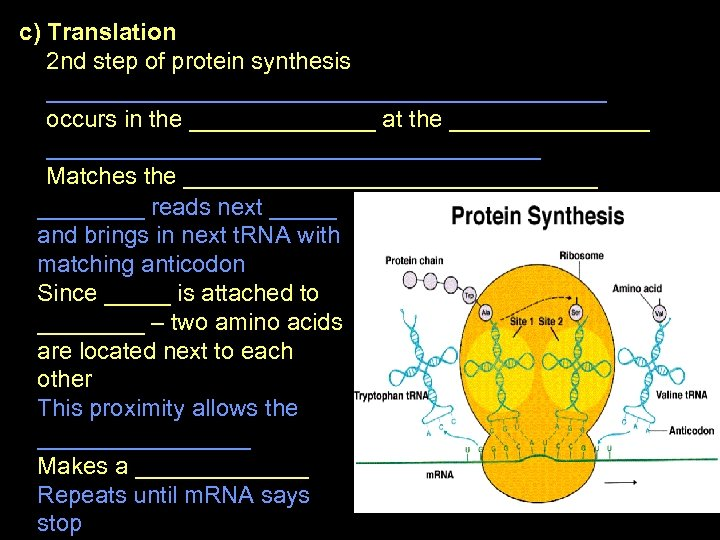 c) Translation 2 nd step of protein synthesis _____________________ occurs in the _______ at