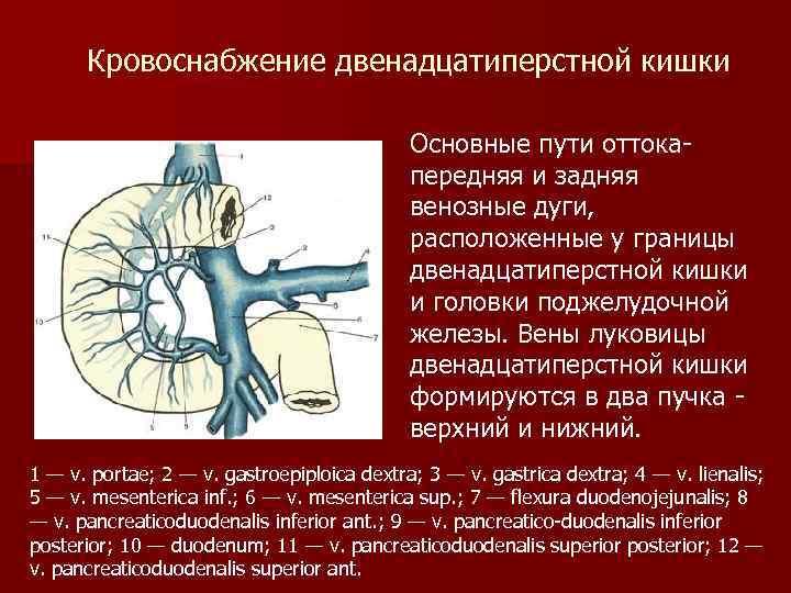 Кровоснабжение двенадцатиперстной кишки Основные пути оттокапередняя и задняя венозные дуги, расположенные у границы двенадцатиперстной