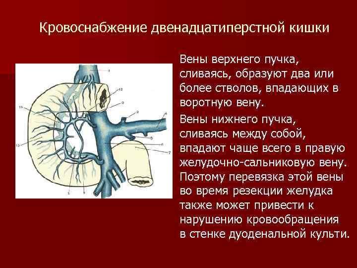 Кровоснабжение двенадцатиперстной кишки Вены верхнего пучка, сливаясь, образуют два или более стволов, впадающих в