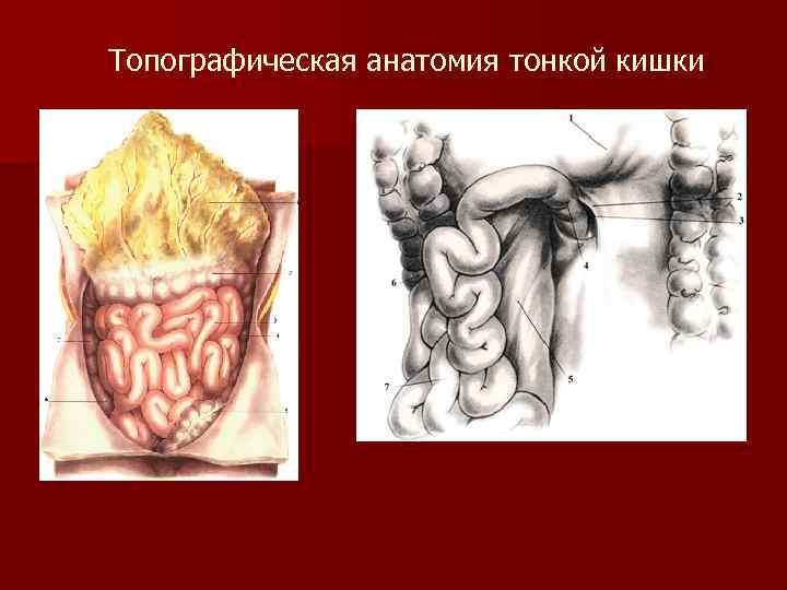 Топографическая анатомия тонкой кишки