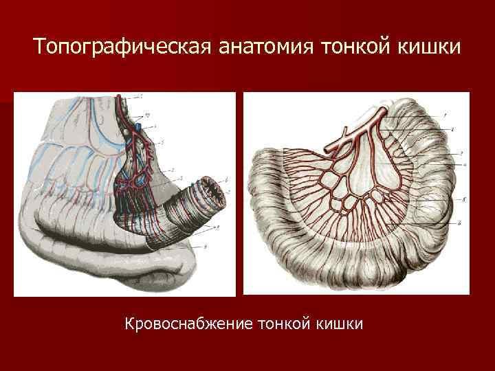 Топографическая анатомия тонкой кишки Кровоснабжение тонкой кишки