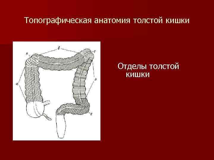 Топографическая анатомия толстой кишки Отделы толстой кишки