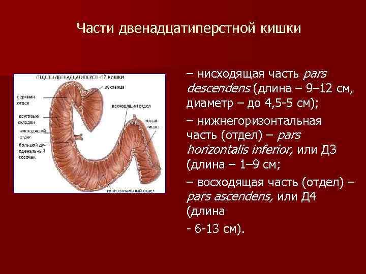 Части двенадцатиперстной кишки – нисходящая часть pars descendens (длина – 9– 12 см, диаметр