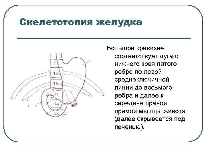 Скелетотопия желудка Большой кривизне соответствует дуга от нижнего края пятого ребра по левой среднеключичной