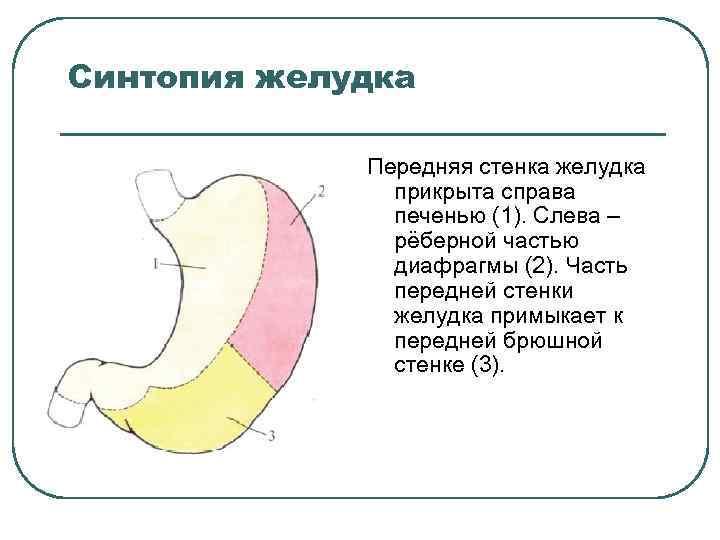Синтопия желудка Передняя стенка желудка прикрыта справа печенью (1). Слева – рёберной частью диафрагмы
