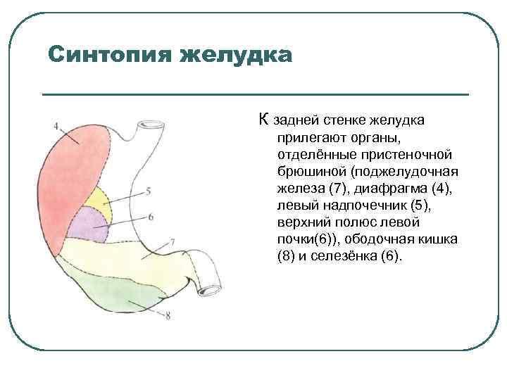 Синтопия желудка К задней стенке желудка прилегают органы, отделённые пристеночной брюшиной (поджелудочная железа (7),