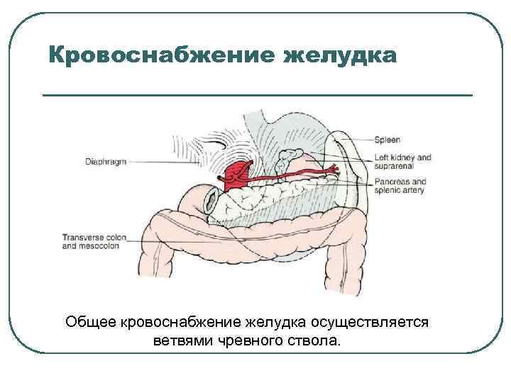 Кровоснабжение желудка Общее кровоснабжение желудка осуществляется ветвями чревного ствола.