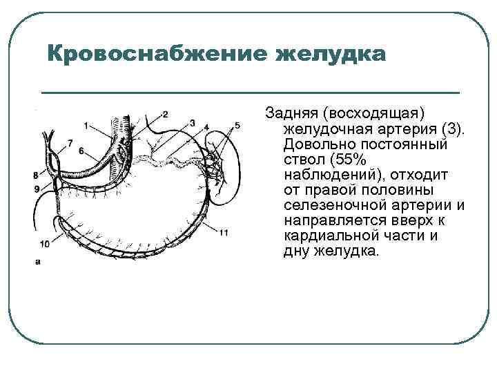 Кровоснабжение желудка Задняя (восходящая) желудочная артерия (3). Довольно постоянный ствол (55% наблюдений), отходит от