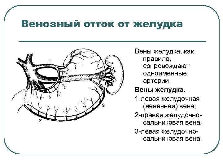 Венозный отток от желудка Вены желудка, как правило, сопровождают одноименные артерии. Вены желудка. 1