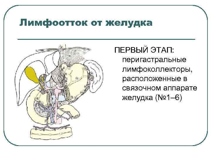 Лимфоотток от желудка ПЕРВЫЙ ЭТАП: перигастральные лимфоколлекторы, расположенные в связочном аппарате желудка (№ 1–