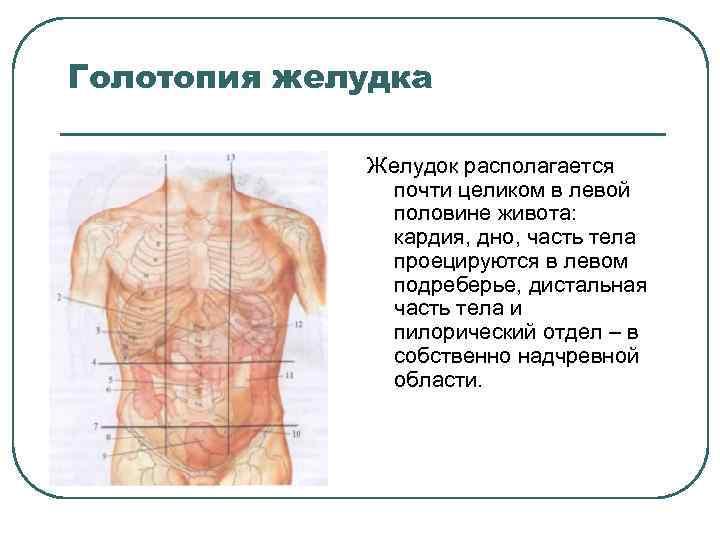 Голотопия желудка Желудок располагается почти целиком в левой половине живота: кардия, дно, часть тела