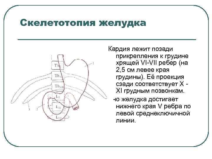 Скелетотопия желудка Кардия лежит позади прикрепления к грудине хрящей VI VII ребер (на 2,
