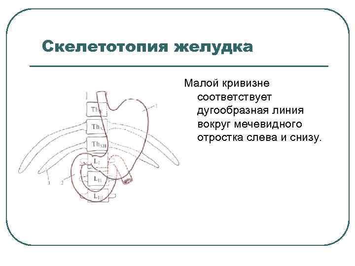 Скелетотопия желудка Малой кривизне соответствует дугообразная линия вокруг мечевидного отростка слева и снизу.