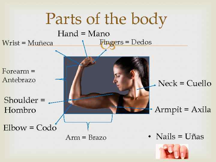 Parts of the body Wrist = Muñeca Hand = Mano Fingers = Dedos Forearm
