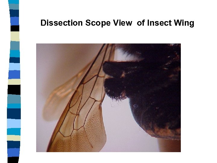 Dissection Scope View of Insect Wing