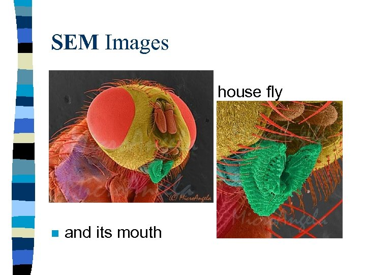 SEM Images house fly n n and its mouth
