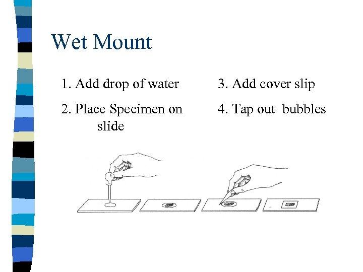 Wet Mount 1. Add drop of water 3. Add cover slip 2. Place Specimen
