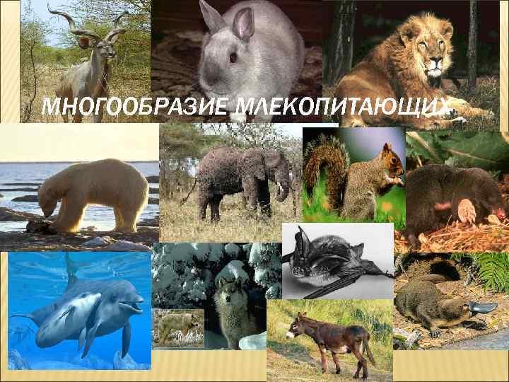 картинки млекопитающие презентация