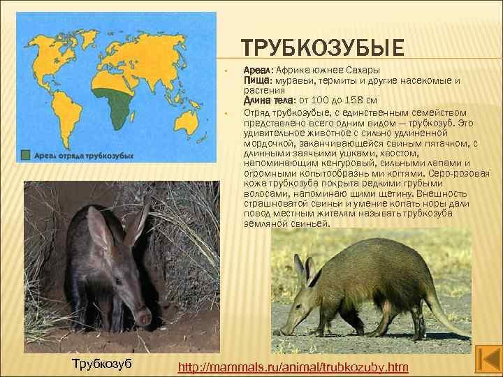 ТРУБКОЗУБЫЕ • • Трубкозуб Ареал: Африка южнее Сахары Пища: муравьи, термиты и другие насекомые