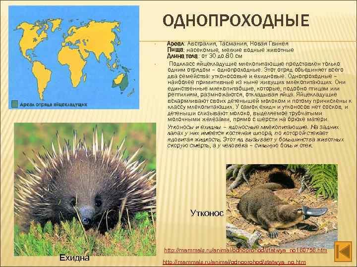ОДНОПРОХОДНЫЕ • • • Ареал: Австралия, Тасмания, Новая Гвинея Пища: насекомые, мелкие водные животные