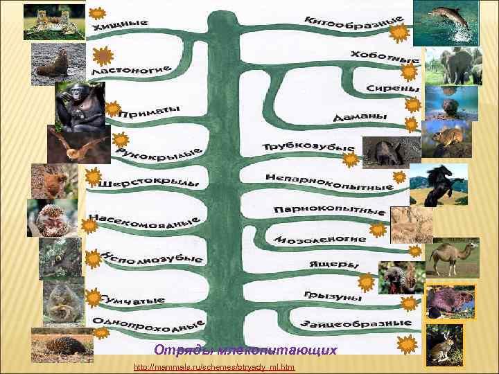 Отряды млекопитающих http: //mammals. ru/schemes/otryady_ml. htm