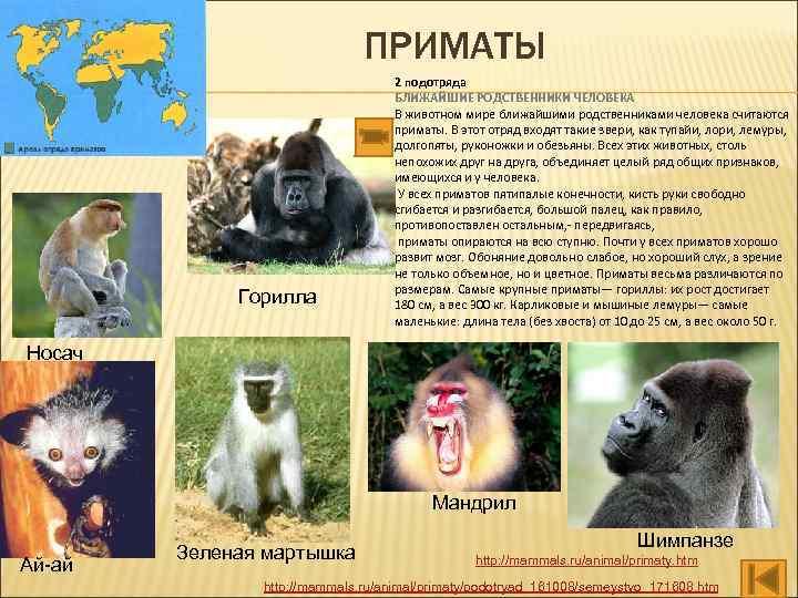 ПРИМАТЫ Горилла 2 подотряда БЛИЖАЙШИЕ РОДСТВЕННИКИ ЧЕЛОВЕКА В животном мире ближайшими родственниками человека считаются