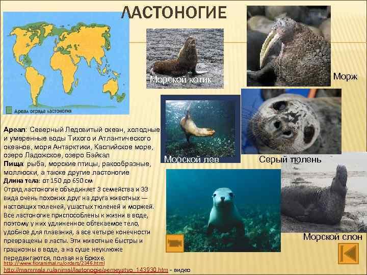 ЛАСТОНОГИЕ Морж Морской котик Ареал: Северный Ледовитый океан, холодные и умеренные воды Тихого и