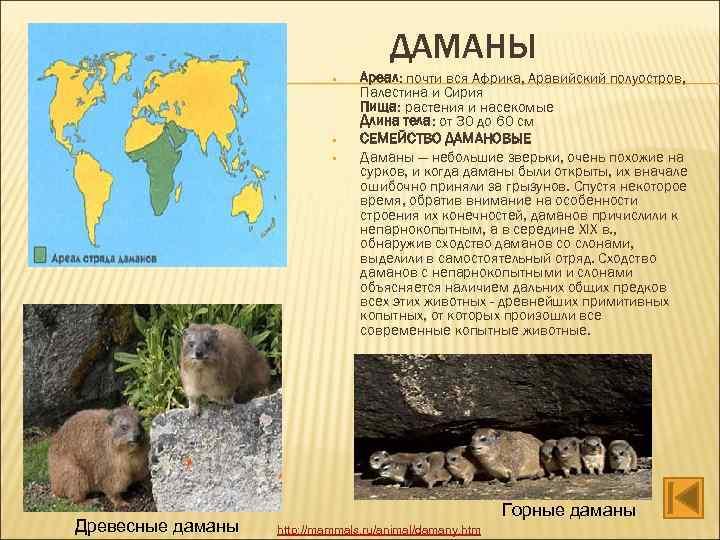 ДАМАНЫ • • • Древесные даманы Ареал: почти вся Африка, Аравийский полуостров, Палестина и