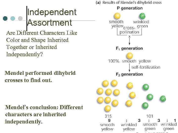 Independent Assortment Are Different Characters Like Color and Shape Inherited Together or Inherited Independently?