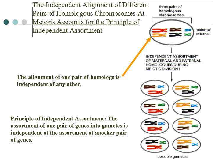 The Independent Alignment of Different Pairs of Homologous Chromosomes At Meiosis Accounts for the