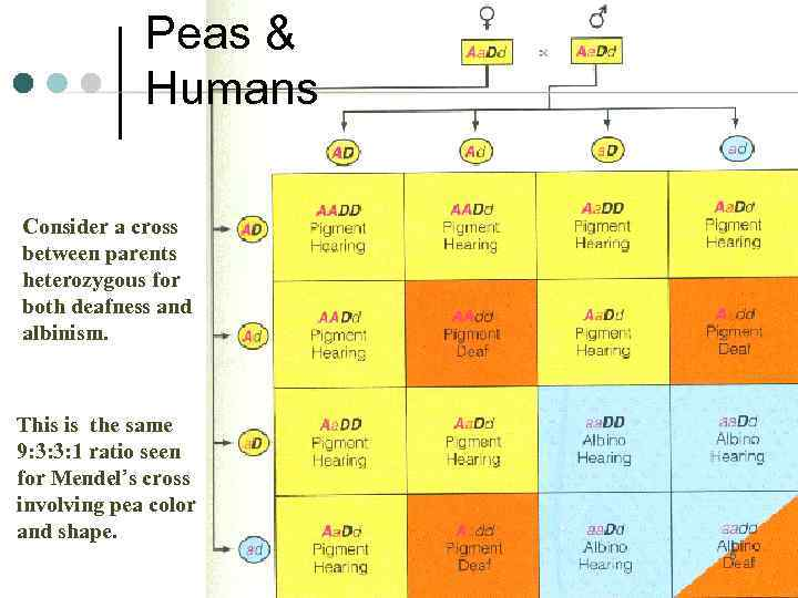 Peas & Humans Consider a cross between parents heterozygous for both deafness and albinism.