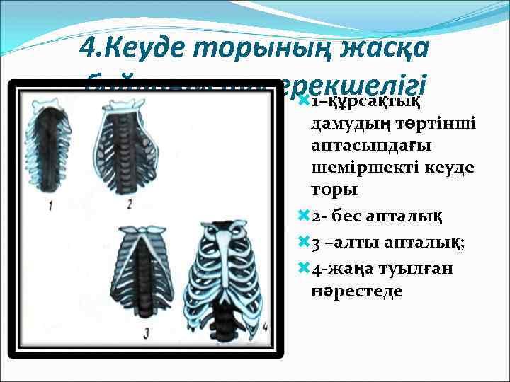 4. Кеуде торының жасқа байланысты ерекшелігі 1–құрсақтық дамудың төртінші аптасындағы шеміршекті кеуде торы 2