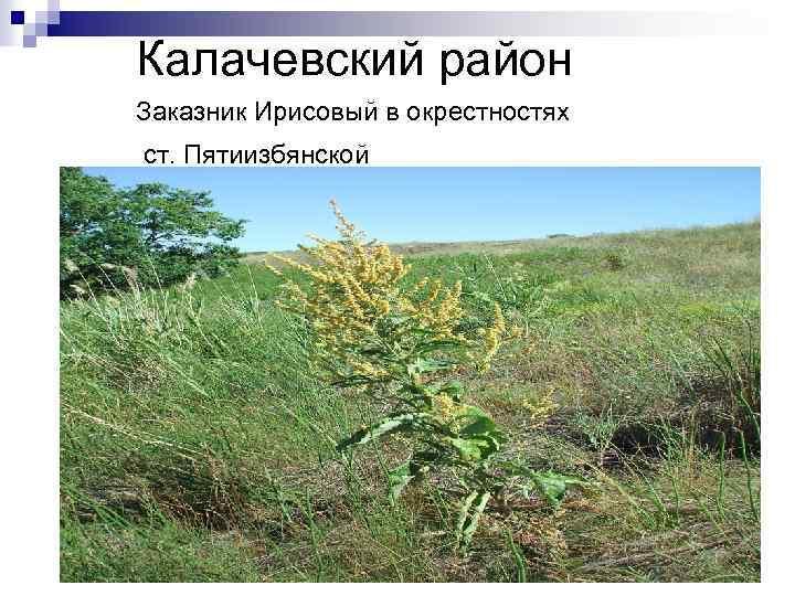 Калачевский район Заказник Ирисовый в окрестностях ст. Пятиизбянской