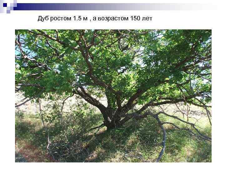 Дуб ростом 1. 5 м , а возрастом 150 лет