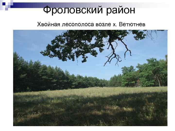 Фроловский район Хвойная лесополоса возле х. Ветютнев