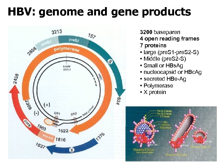 HBV: genome and gene products 3200 baseparen 4 open reading frames 7 proteins •