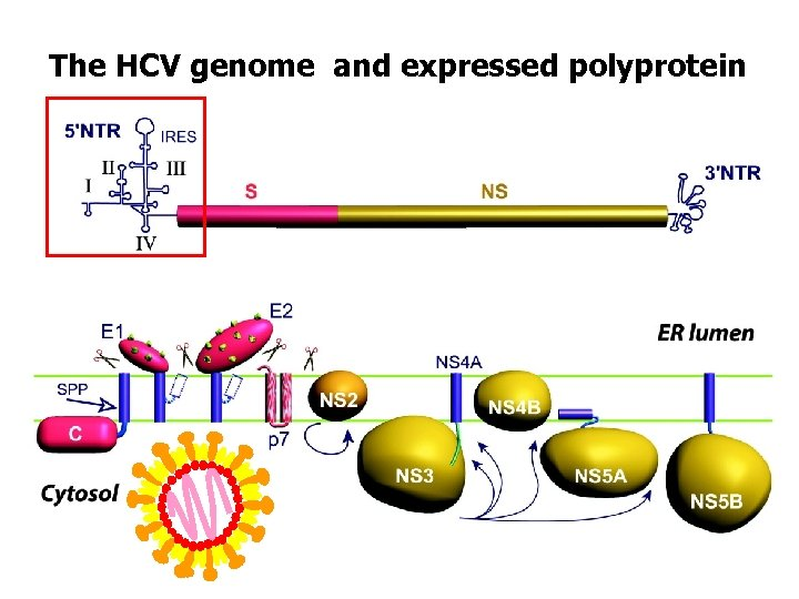 The HCV genome and expressed polyprotein