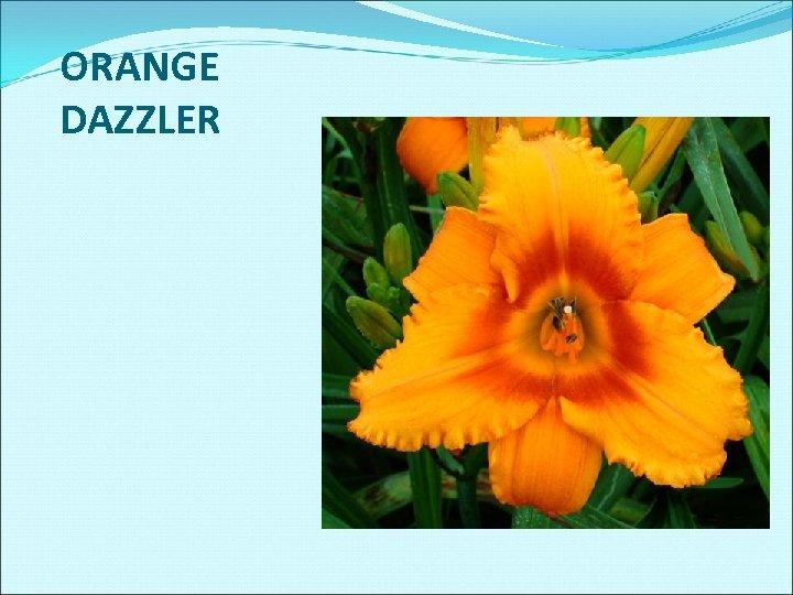 ORANGE DAZZLER