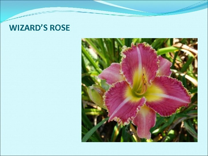 WIZARD'S ROSE