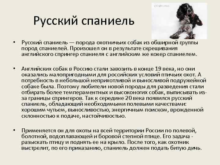 Русский спаниель • Русский спаниель — порода охотничьих собак из обширной группы пород спаниелей.