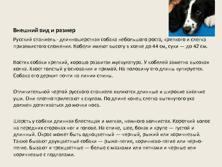 Внешний вид и размер Русский спаниель - длинношерстная собака небольшого роста, крепкого и слегка