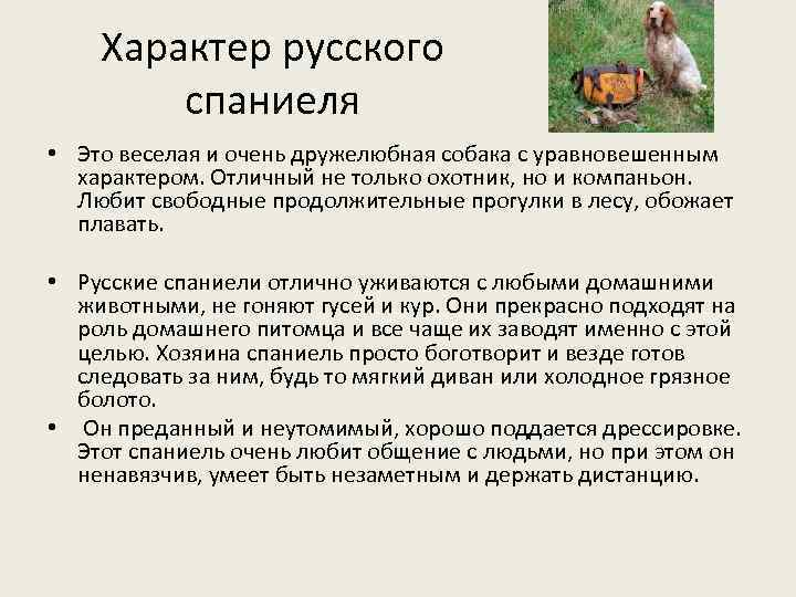 Характер русского спаниеля • Это веселая и очень дружелюбная собака с уравновешенным характером. Отличный