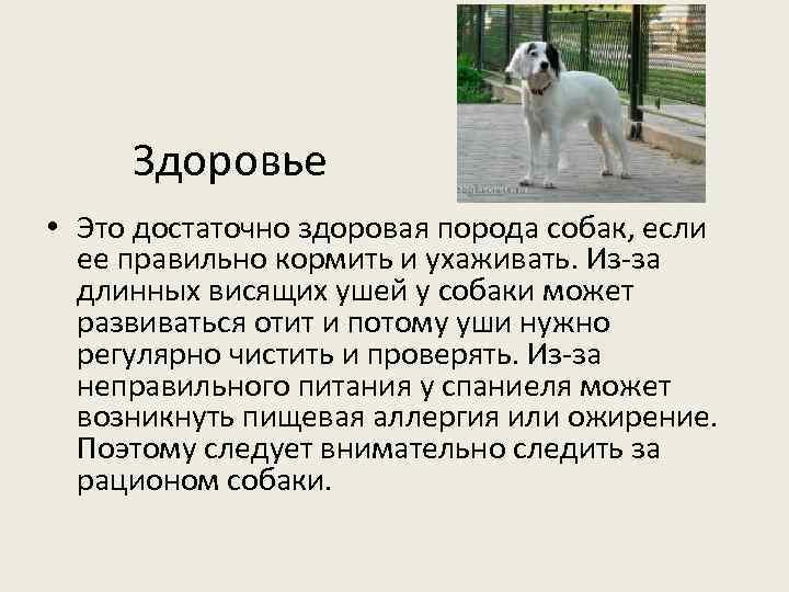 Здоровье • Это достаточно здоровая порода собак, если ее правильно кормить и ухаживать. Из-за