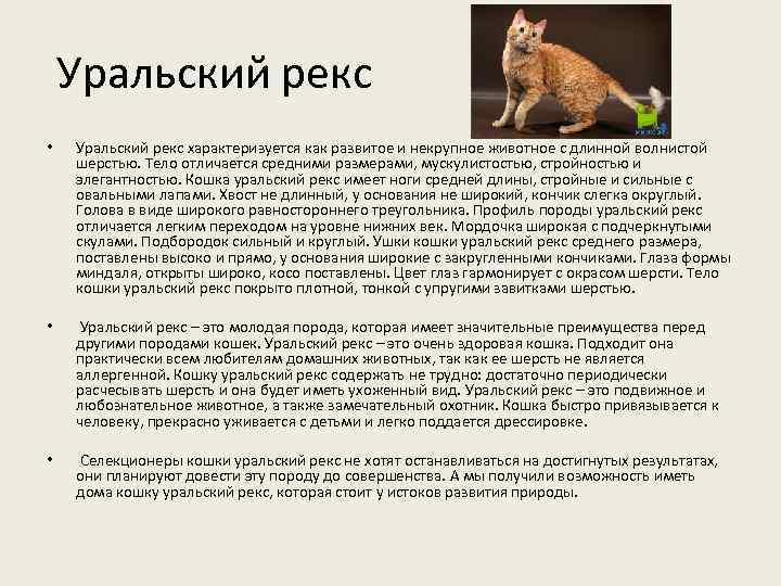 Уральский рекс • Уральский рекс характеризуется как развитое и некрупное животное с длинной волнистой